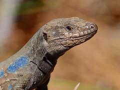 lagarto tizn 2 (kozoga) Tags: lagarto lagartotizn gallotiagalloti