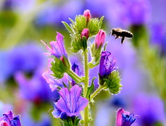 The approach. (pstone646) Tags: bee nature colour plant fauna flora insect animal wildlife purple closeup bokeh kent flowers