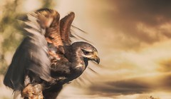 3...2...1...Start!!!    (Explore 27.08.2016) (Delbrcker) Tags: eagle adler animal tier bird vogel outdoor nature natur nikond610 70200mm 28