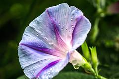 morning glory morning rain