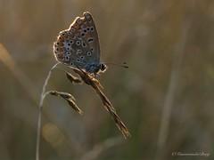 Hoe later op de avond ....... :-) (Manon van der Burg) Tags: blauwtje icarus weltrusten sunset sundown tiny small macro unexpected nature natuurfotografie naturelover sx60 powerrrrshot grass dephtoffield canon