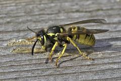 Still At Work (me'nthedogs) Tags: wasp westhay somerset levels