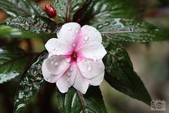 Vinca rosea (Csar-Ivn) Tags: vincarosea ammocallisrosea lochnerarosea chula vincadelcabo vincarosa vincarosada oldmaid cesarivan