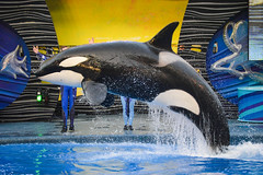 DSC_0111 (photosbyjenna) Tags: seaworld sea world orca whale photography dolphin animal orlando texas san antonio trainers shamu penguins dolphins seaworldparks