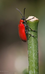 Lily Beetle (Emily Starbug Photography) Tags: lily beetle climbing stick windy conditions bug insect canon70d tamron90mm emilystarbug