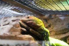 Pocketable dragon (Urko C.) Tags: zoo reptil reptile dragon varano animal animals portrait zeiss a7r sony 5518za