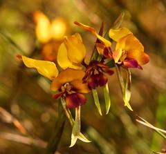 Diuris Magnifica tripple (ron_n_beths pics) Tags: westernaustralia orchidaceae diuris