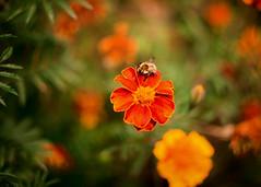 * (monorail_kz) Tags: helios442 vignette depthoffield vintagelens bee flower green orange red grass september sunny