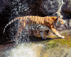 Passing Shower (DaveLawler) Tags: tiger southwick zoo massachusetts waterfall splash shower cat animal kya bengal