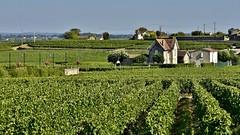 Da Sarlat a Saint-milion  (miriam ulivi) Tags: miriamulivi nikond7200 francia aquitania saintemilion vigneti nature vineyards