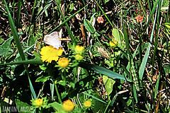 Butterfly and Caterpillar (tinlight7) Tags: butterfly caterpillar green burana wildflower inula yellow kyrgyzstan taxonomy:kingdom=animalia animalia taxonomy:phylum=arthropoda arthropoda taxonomy:subphylum=hexapoda hexapoda taxonomy:class=insecta insecta taxonomy:subclass=pterygota pterygota taxonomy:order=lepidoptera lepidoptera taxonomy:superfamily=papilionoidea papilionoidea taxonomy:family=pieridae pieridae  whitesyellowsandsulphurs blancasamarillasyazufres   pieridbutterflies    taxonomy:common= taxonomy:common=whitesyellowsandsulphurs taxonomy:common=blancasamarillasyazufres taxonomy:common= taxonomy:common= taxonomy:common=pieridbutterflies taxonomy:common= taxonomy:common= taxonomy:common= inaturalist:observation=4148650