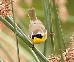 Common Yellowthroat(1) (calibirder) Tags: geothlypistrichas commonyellowthroat woodwarbler coye nevadacounty