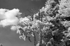 Infrared forest (mkk707) Tags: nikond40 afsnikkor35mm118g infrared ccd conversion nature landscape cloud forest