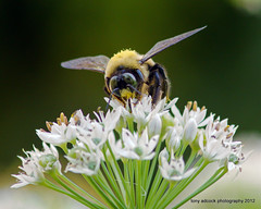 Carpenter Bee on Allium (tonyadcockphotos) Tags: flower macro closeup insect ngc bee bloom wildflower allium bombus carpenterbee