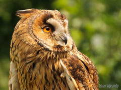Are you sure... ? (bluerapsody) Tags: bird animal germany owl cochem longearedowl dipsy reichsburg asiootus