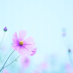 Thought of September (_kaochan) Tags: square squareformat cosmos  dmcgf1 lumixdmcgf1