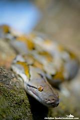 Reticulated Python (Python reticulatus) - Tanjong Jara, Malaysia-8 (Christian Loader) Tags: reptile snake malaysia python reticulated tanjongjara tanjungjara christianloader scubazooimages