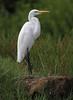 Great White Egret (Wild Chroma) Tags: birds alba ardea srilanka egret ardeaalba nonpasserines muthurajawela
