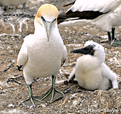 Mother and chick (Kiwi~Steve) Tags: newzealand bird nature nikon chick nz northisland napier capekidnappers hawkesbay gannet nikond90