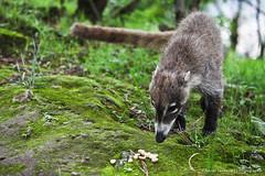 Badger (SegundoFelino) Tags: animal mexico photography badger adrien tepoztlan morelos sandoval tejon