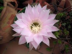 Flor de cctus (Bellwizard) Tags: cactus flower flor cacto