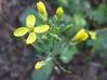wild brassicas (various Brassica species, mostly fruticulosa)