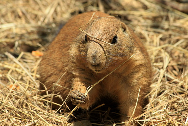 Prarie Dog in the hay.