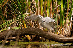 Black-crowned Night Heron (Ralf Nowak) Tags: ontario blackcrownednightheronnycticoraxnycticoraxhamilton