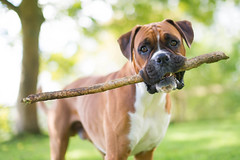 Crafted sticks for sale (Danny Beattie) Tags: dog george with boxer stick dogwithstick