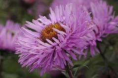 Michaelmas (Tony Tooth) Tags: pink flower green nikon purple buckinghamshire september allotment bucks d90 michaelmasdaisy