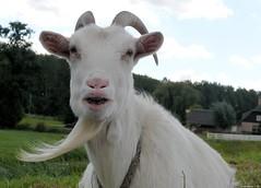 Goat with goatee (Nemodus photos) Tags: animals beard goatee goat animaux chvre fz50 barbichette