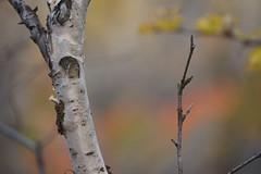 Birch in Abisko
