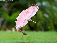 Roseate Spoonbill Juvenile Landing After Maiden Flight, From July (Image Hunter 1) Tags: pink trees tree green nature grass leaves birds flying wings louisiana bokeh flight feathers landing bayou swamp greenery marsh juvenile wingspan roseatespoonbill fledgeling wingspread canoneos7d birdslouisiana