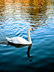 Punctuation ! (amira_a) Tags: blue lake bird water birds reflections 50mm prime swan nikon mark punctuation whiteswan d5100 nikon50mm18g nikond5100