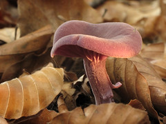 Purple in the woods (Wilma1962*) Tags: autumn fall ngc herfst fungi toadstool paddenstoel paddestoel raynoxdcr150 amethystdeceiver amethistzwam mygearandme mygearandmepremium mygearandmebronze mygearandmesilver mygearandmegold mygearandmeplatinum mygearandmediamond