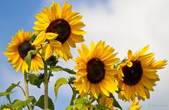 Sunflowers_3632 (Orkakorak) Tags: flowers flora sunflower storybookwinner ispywinner pittmeadowscommunitygarden