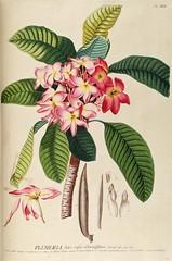 Anglų lietuvių žodynas. Žodis genus plumeria reiškia genties plumeria lietuviškai.
