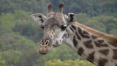 Giraffe (mr.ahorn) Tags: park berg tanzania mt peak mount climbing national socialist arusha 2012 meru vulkan tansania besteigung