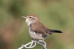 Bewick's Wren (Thryomanes bewickii) (mesquakie8) Tags: bird utah wren stgeorge bewickswren thryomanesbewickii 8949 bewr tonaquintpark sittingonfencing