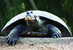 Comming Out of my Shell (osvaldoeaf) Tags: brazil portrait green nature water up animals brasil fauna zoo close turtle goiânia digitalcameraclub