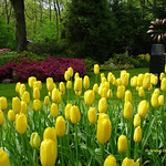 Dutch Tulips, Keukenhof Gardens, Holland - 3932 thumbnail