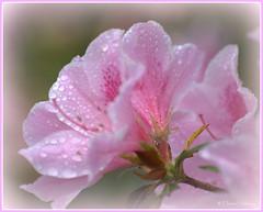 Azalea (loobyloo55) Tags: pink flower nature water droplets flora azalea floraandfauna hennysgardens
