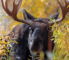 Up Close Bull Moose in Fall - 1446b+sg (teagden) Tags: morning autumn light wild fall closeup early nikon close eating fallcolors moose bull autumncolors eat upclose 2012 bullmoose earlymorninglight wildlifephotography jenniferhall highqualityanimals