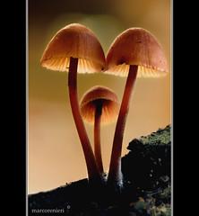 Funghetti di bosco (marcorenieri) Tags: campagna funghi bosco