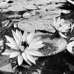 Within 5 kms Radius From My House : Flowers Are Blooming (W  M Soo) Tags: analog waterlily malaysia terengganu teratai fomapan100 kerteh hasselblad2003