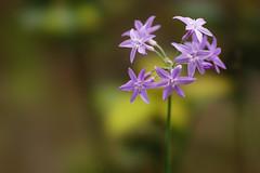 Tulbaghia (ddsnet) Tags: plant flower sony hsinchu taiwan     900    peipu greenworld tulbaghia   900