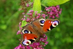 Schmetterling (ute_hartmann) Tags: garten tagpfauenauge schmetterlingsflieder