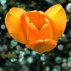 Sonnenberg+Gardens+%26+Mansion+Historic+Park+%7E+Canandaigua+NY+%60+Orange+Tulip+%7E+Bokehs
