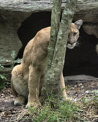 """No one will ever find me here"" (ucumari photography) Tags: tree animal mammal zoo nc north july heath carolina puma hiding cougar mountainlion catamount 2016 specanimal ucumariphotography dsc9193"
