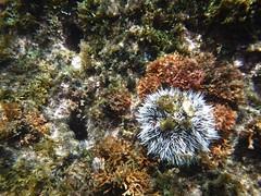 ウニ (lulun & kame) Tags: アメリカ大陸 snorkeling scottshead america dominica シュノーケリング スコッツヘッド ドミニカ